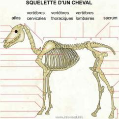 Horse Muscle And Bone Diagram Immersion Switch Wiring Anatomie / Morphologie Du Cheval