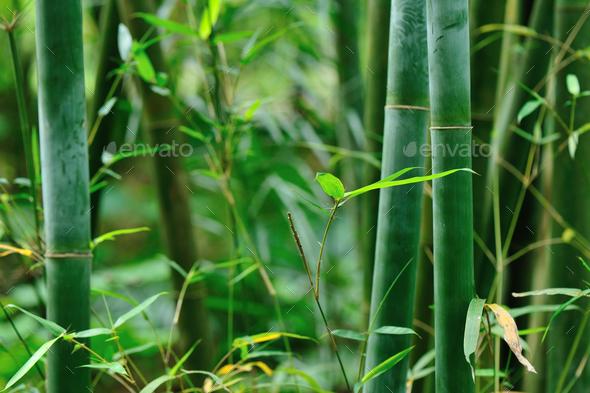 bamboo trees in garden