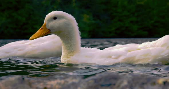 wild ducks in lake