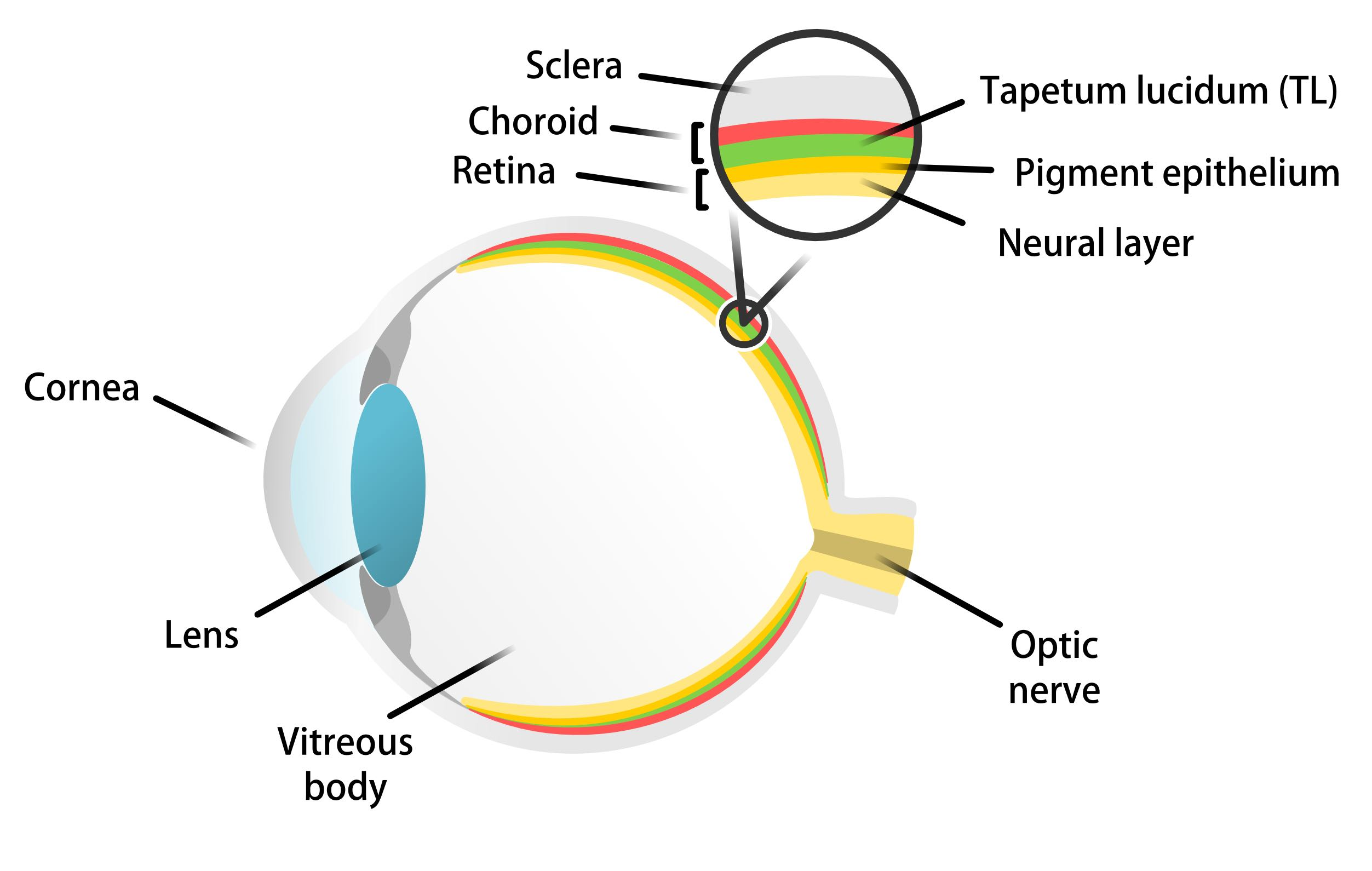 Cat Eye With Tapetum Lucidum Diagram - Car Wiring Diagrams Explained •