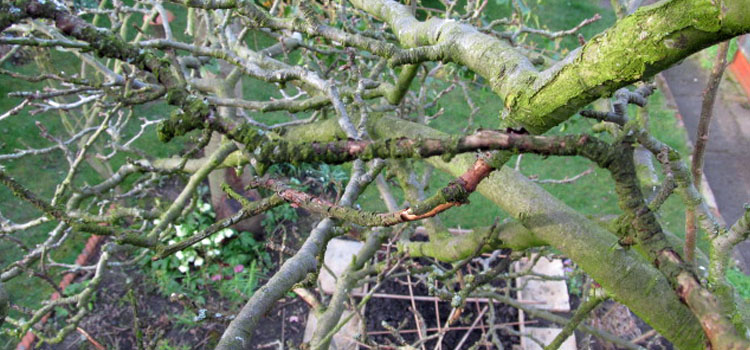 How To Winter Prune Apple Trees