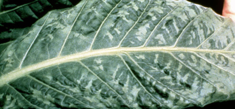 Tobacco Mosaic Virus Guide