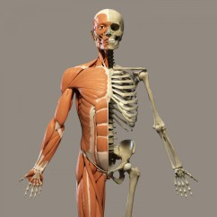 Human Skeleton And Muscles Diagram Poulan Fuel Line Skeletons Bones Why Can T Granny Run Like Me Of The