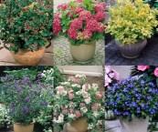 dwarf flowering shrubs