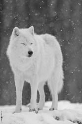 wolf snow animals wolves winter falling cute nature wild arctic wolve sleepy favim visit