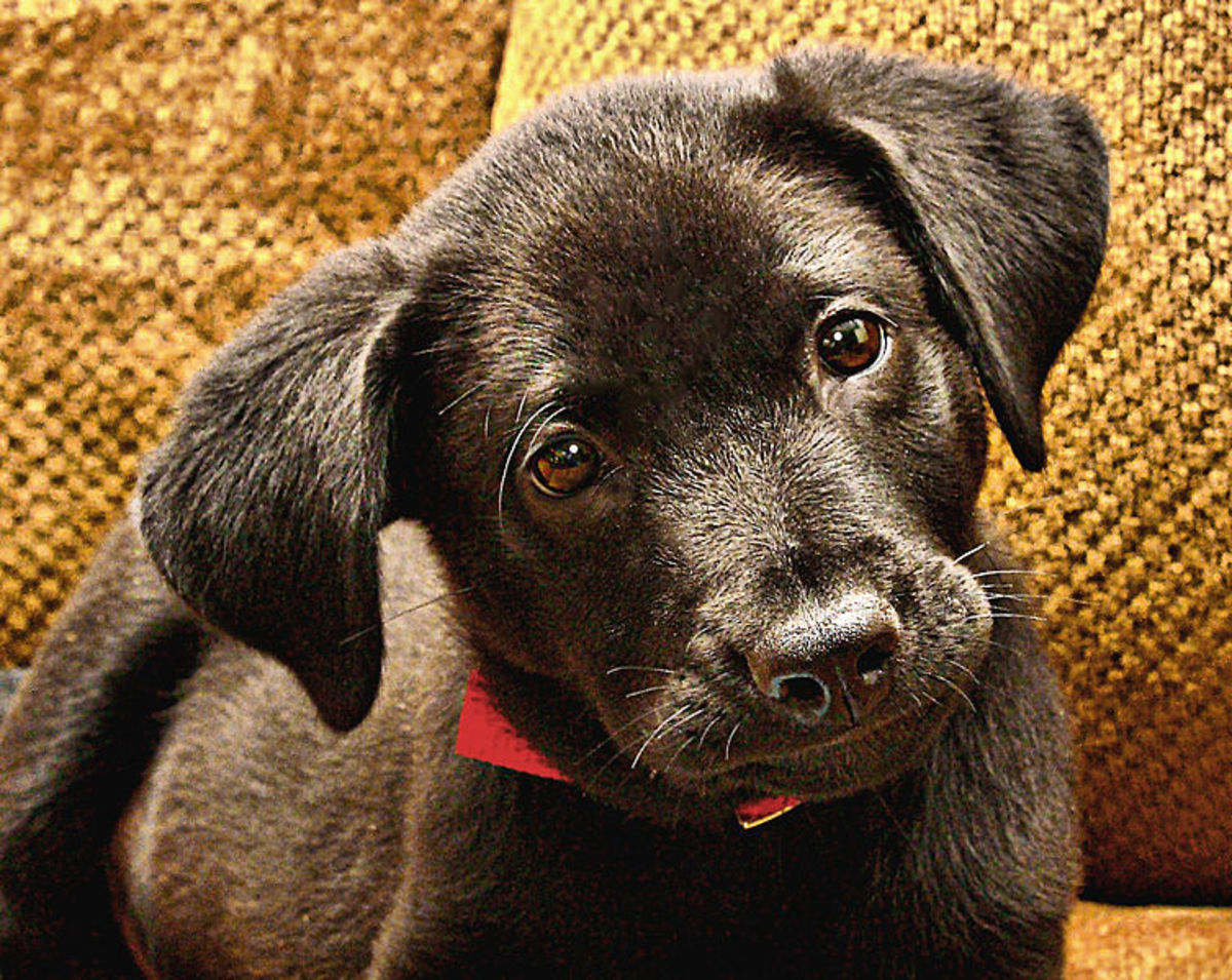 Laborador Pup - Photo from Wikimedia Commons.