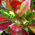 Photo gallery the amazing colors and patterns of tropical foliage