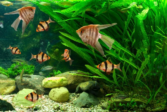 freshwater aquarium fish online - Freshwater Aquarium Fish