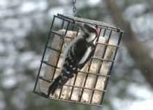 Suet is usually eaten through a cage-like feeder
