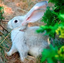 Wild Rabbit Looking For Food