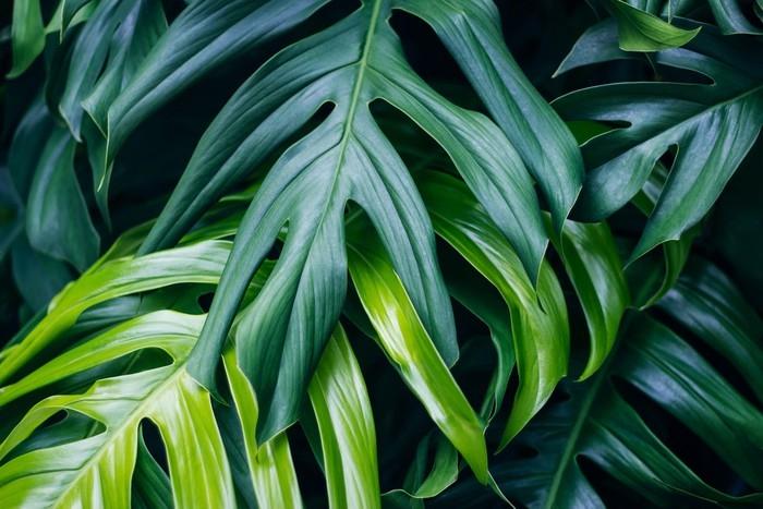 Carta da Parati Foglie verdi tropicali su fondo scuro