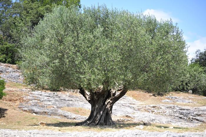 Fototapete Olivenbaum  Pixers  Wir leben um zu verndern