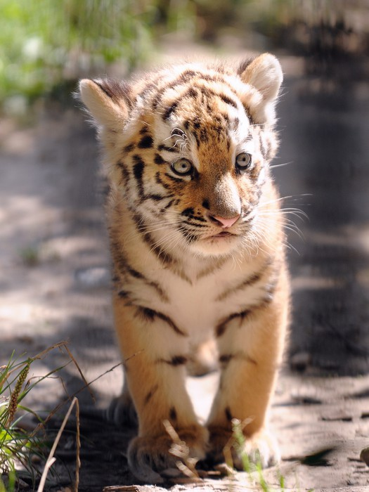Fotobehang Baby van de tijger  Pixers  We leven om te