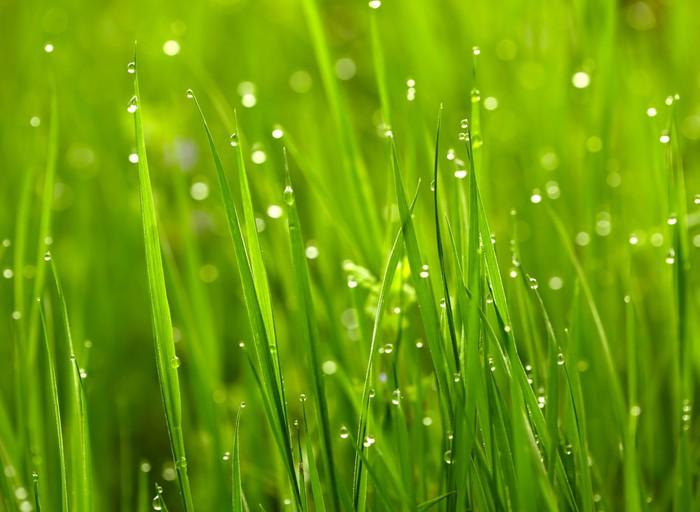 Fototapete Grnes Gras mit Wassertropfen  Pixers  Wir