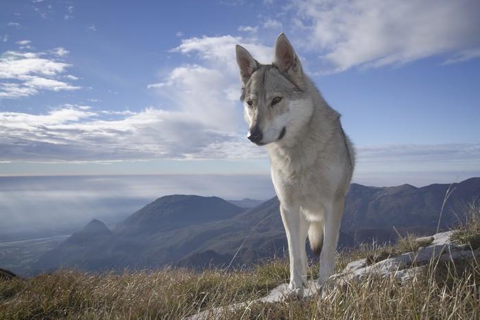 Fototapete Karpaten Wolf tschechoslowakischen  Pixers
