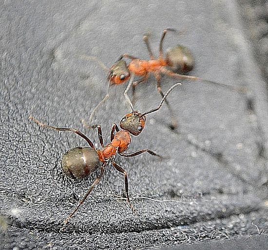 Bugmatser Pest Control Kelowna Fire Ant Bite