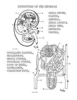 Kidney Coloring Page and Questions