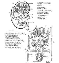 diagram of nephron [ 791 x 1024 Pixel ]