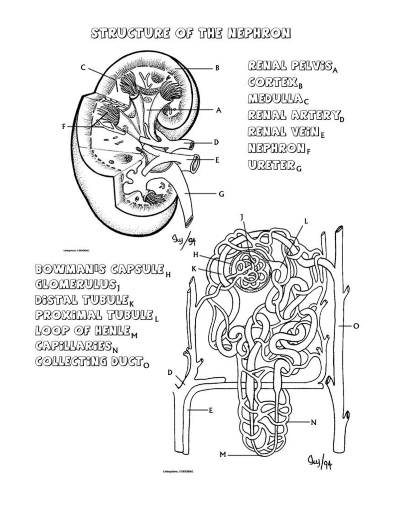 hight resolution of diagram of nephron