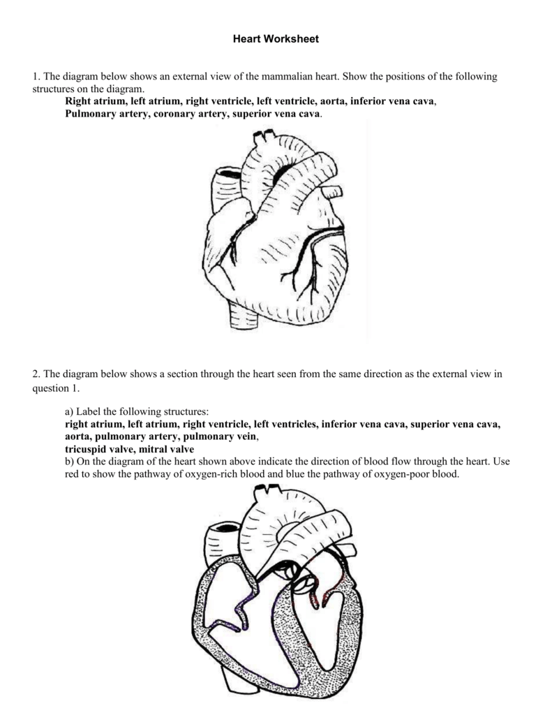 label heart diagram worksheet answers 94 vw jetta parts 4