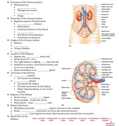 chapter 15 the urinary system functions of the urinary system elimination of  [ 791 x 1024 Pixel ]