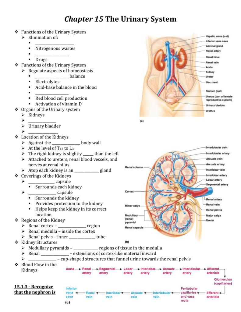 medium resolution of chapter 15 the urinary system functions of the urinary system elimination of