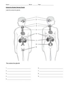 Endocrine system review packet also answer key rh studylib