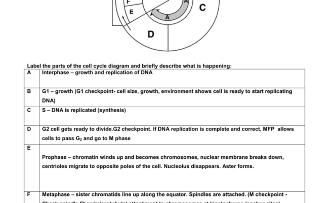 Mitosis Worksheet And Diagram Identification Homeschooldressage Cute766