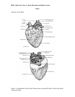 BIOL 2404 Lab #17: Heart Dissection and Blood Vessels