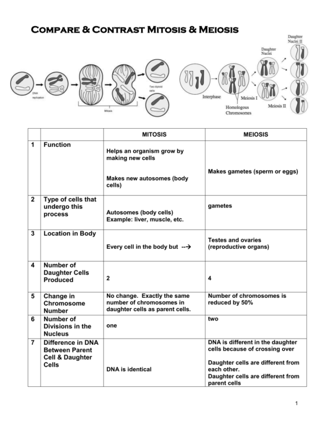 Comparing Mitosis And Meiosis Worksheet Key The Best Key 2018
