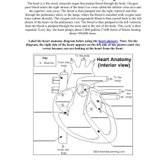 The Lung Anatomy Diagram Label 2002 Nissan Altima Stereo Wiring Heart Interior