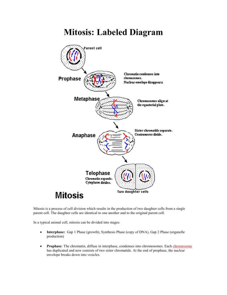 medium resolution of mitosis labeled diagram mitosis cell diagram labeling