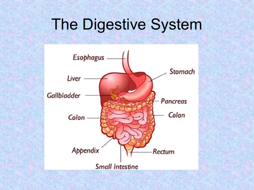 hight resolution of the digestive system objectives name and locate the digestive organs and the accessory organs of digestion list the general function of the digestive