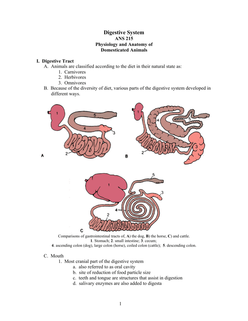 hight resolution of horse gi tract diagram