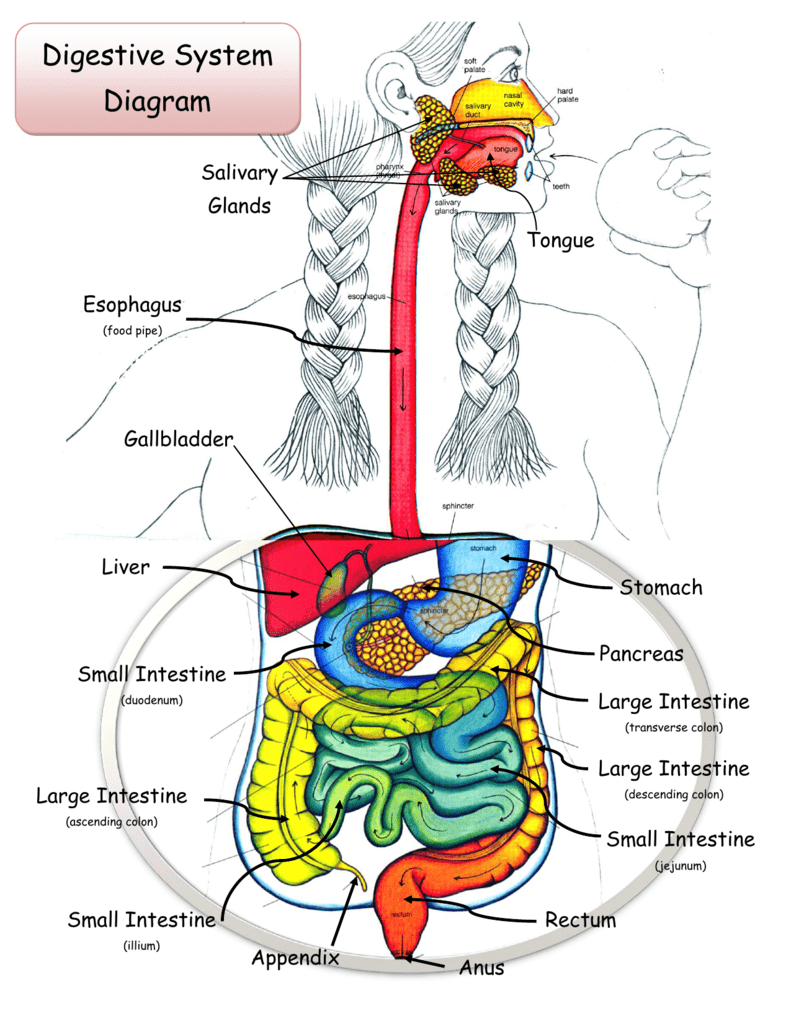 medium resolution of digestive system diagram salivary glands tongue esophagus food pipe gallbladder liver stomach pancreas small intestine large intestine duodenum