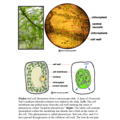 Elodea Leaf Cell Diagram Mini Usb Pinout Illustration From A Microscope Slide Drop Of 10