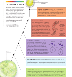 the evolution of volvox the volvocine algae are a model system for studying the evolution of multicellularity as the group contains extant species ranging  [ 829 x 1024 Pixel ]
