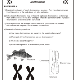 chromosome mapping assignment instructions procedure a 1 examine the diagram of perch chromosomes supplied they have been removed from the nucleus of the  [ 791 x 1024 Pixel ]