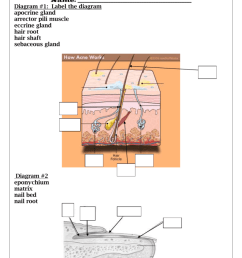 diagram 1 label the diagram apocrine gland arrector pili muscle eccrine gland hair root hair shaft sebaceous gland diagram 2 eponychium matrix nail  [ 791 x 1024 Pixel ]