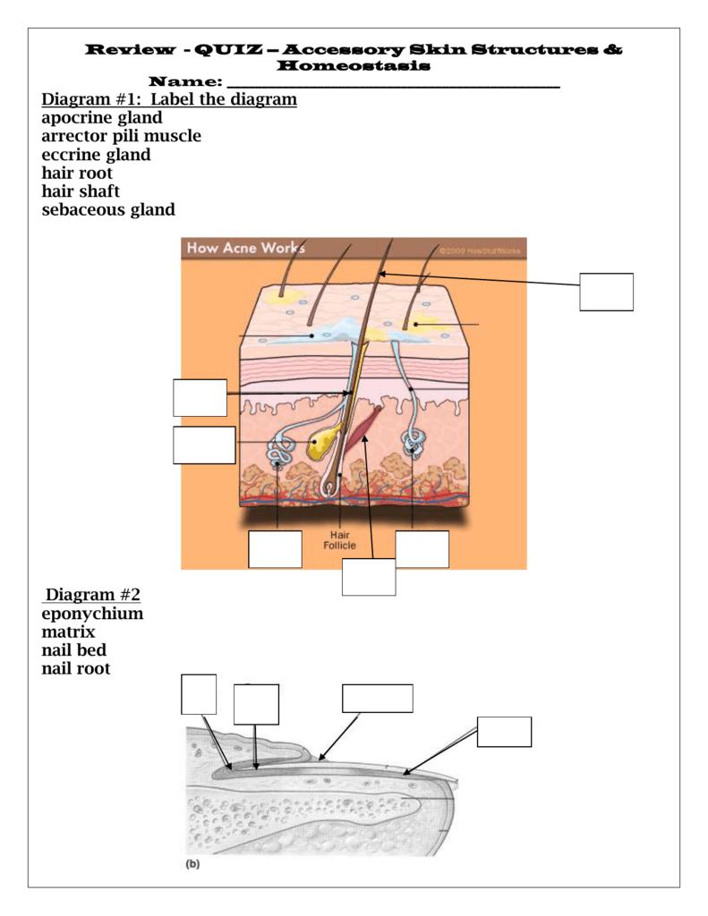 medium resolution of diagram 1 label the diagram apocrine gland arrector pili muscle eccrine gland hair root hair shaft sebaceous gland diagram 2 eponychium matrix nail