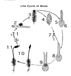 moss spore diagram span class news dt sep 24 2007 span nbsp 0183 32 this consists of a stalk with a spore capsule attached to the parent moss plant as the  [ 791 x 1024 Pixel ]