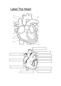 Heart, Blood Vessesls and Blood Worksheet