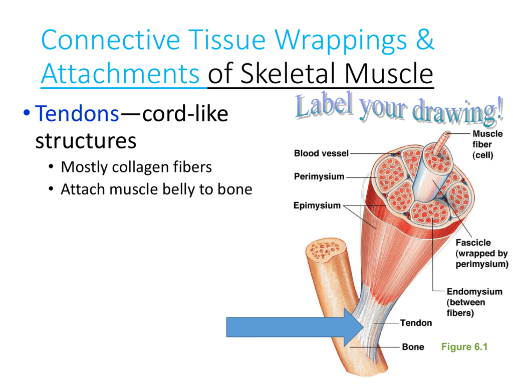 hight resolution of structure of skeletal muscle diagram to label