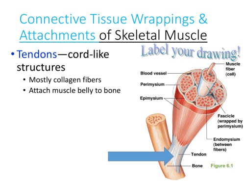 small resolution of structure of skeletal muscle diagram to label