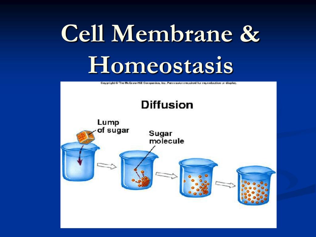 Cell Transport Homeostasis Ppt