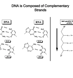 dna is composed of complementary strands base pairing is determined by hydrogen bonding same size forces stabilizing dna double helix 1  [ 1024 x 768 Pixel ]