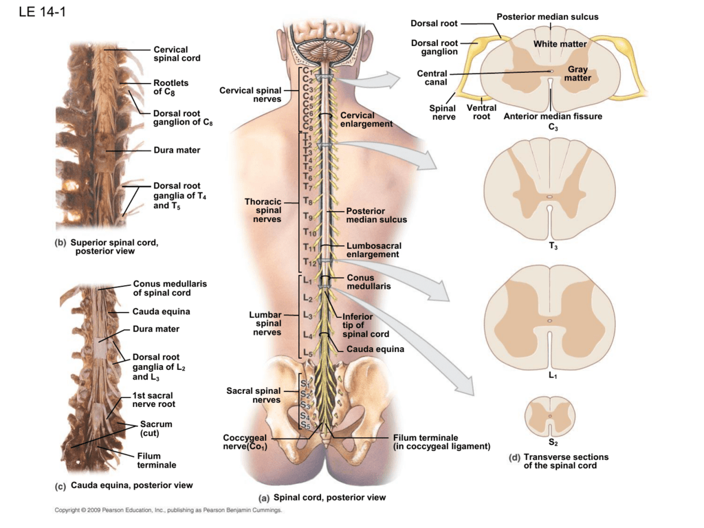hight resolution of spine diagram canal