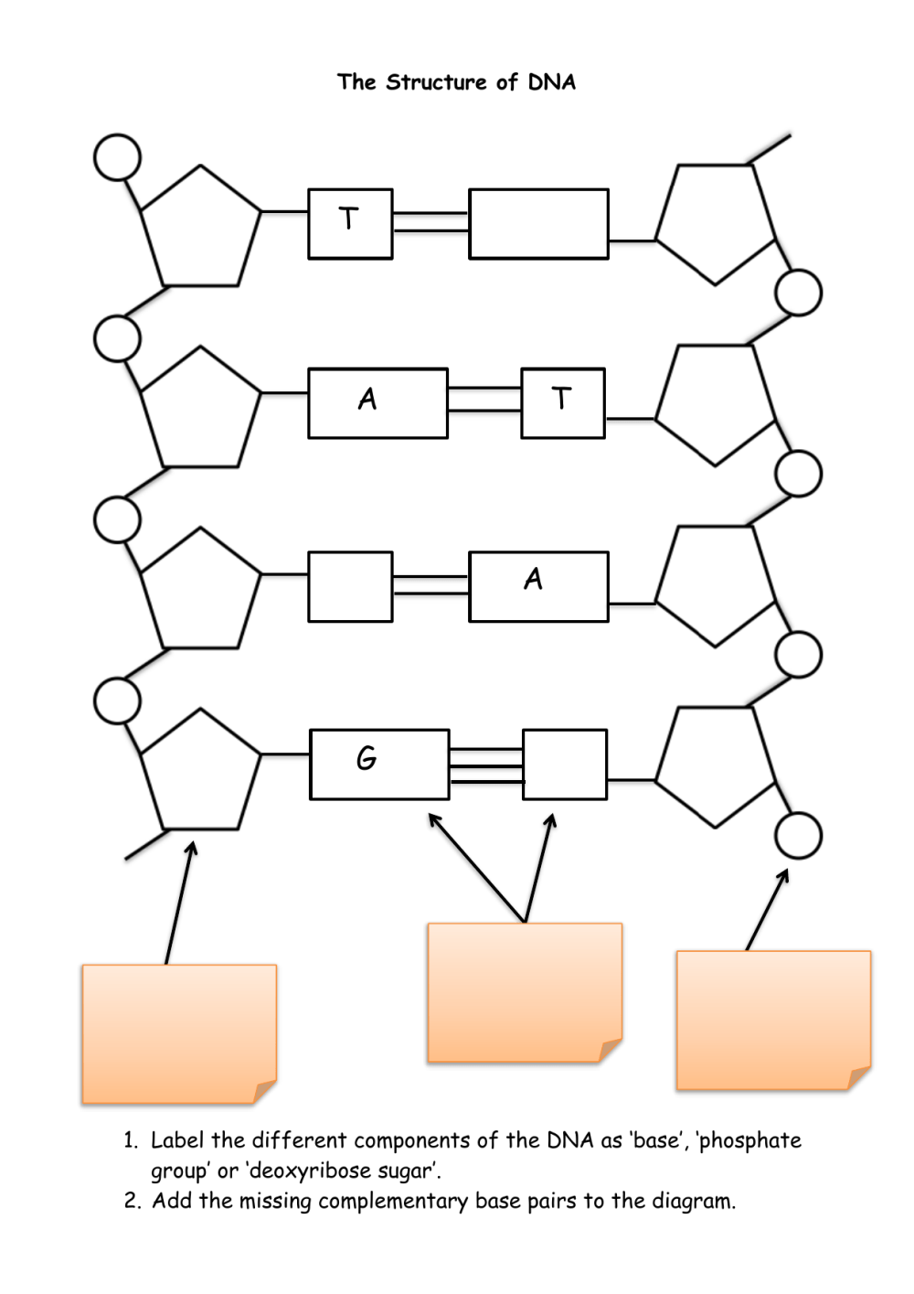medium resolution of the structure of dna complimentary dna base diagram