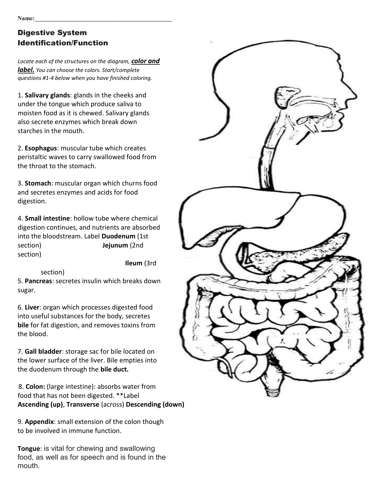 hight resolution of Digestive System Coloring