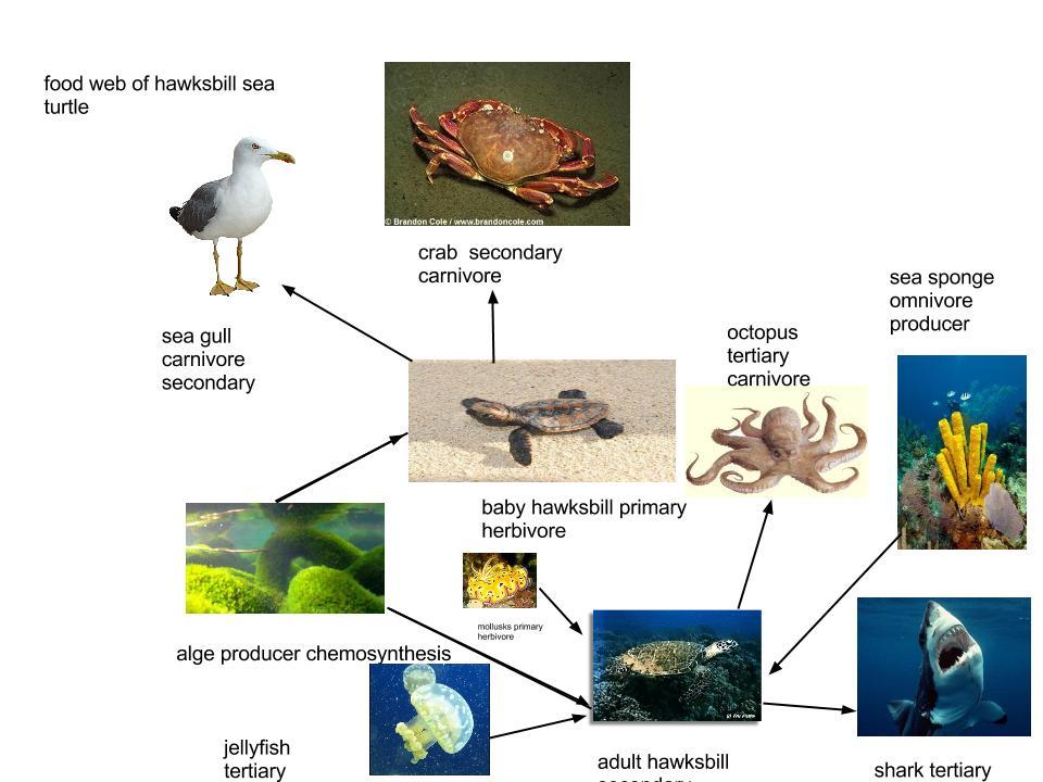 leatherback sea turtle food web diagram cal spa whisper power unit wiring hawksbill chain | foodfash.co